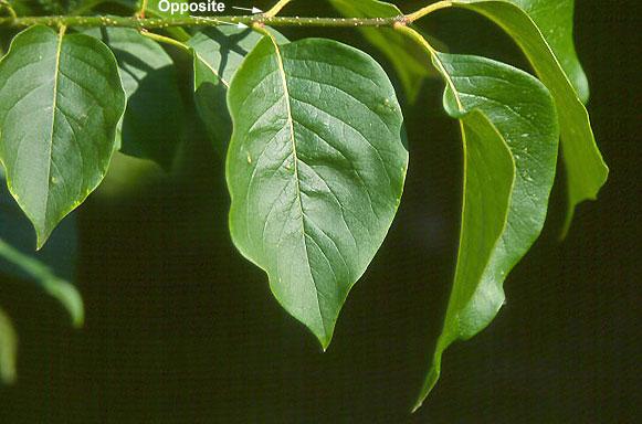 Japanese Lilac leaf