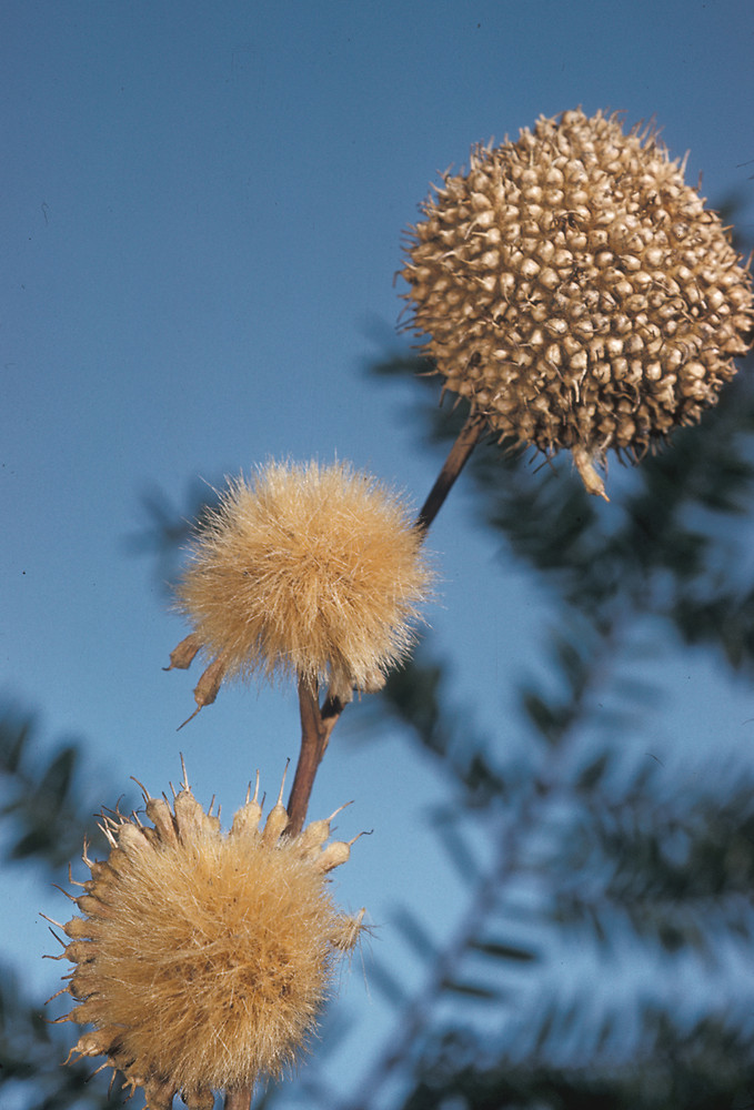 American Sycamore Seed