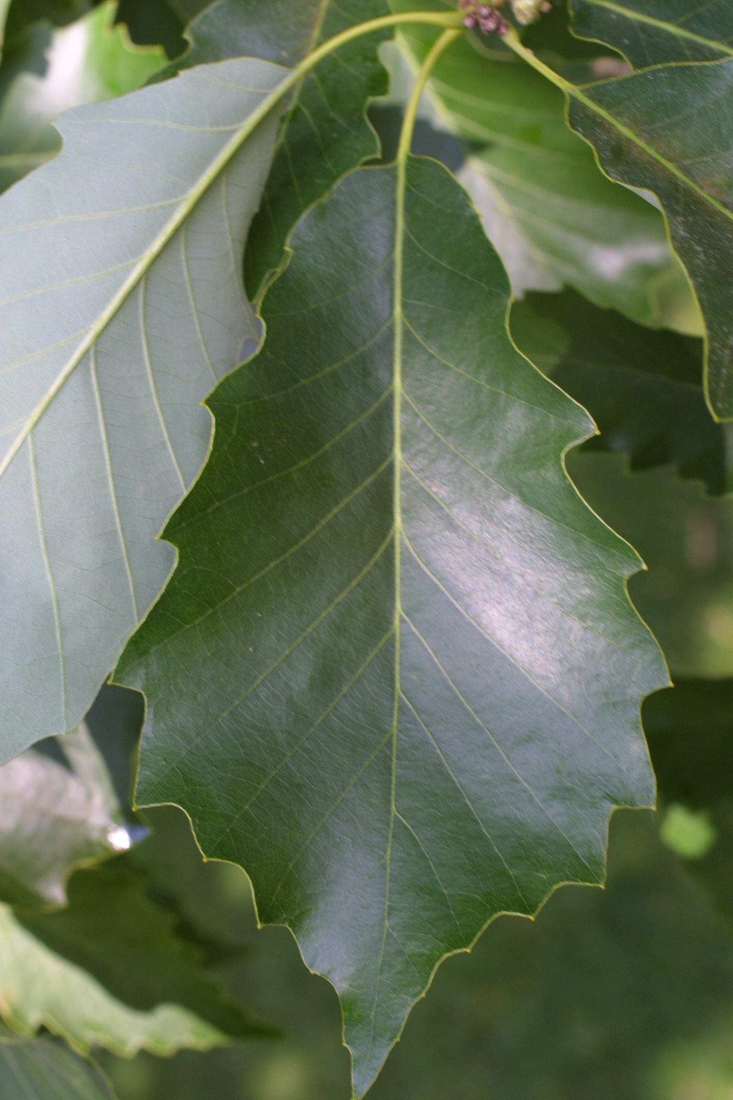 Above is the Chinkapin Oak leaf and below is the Chinkapin Oak seed.