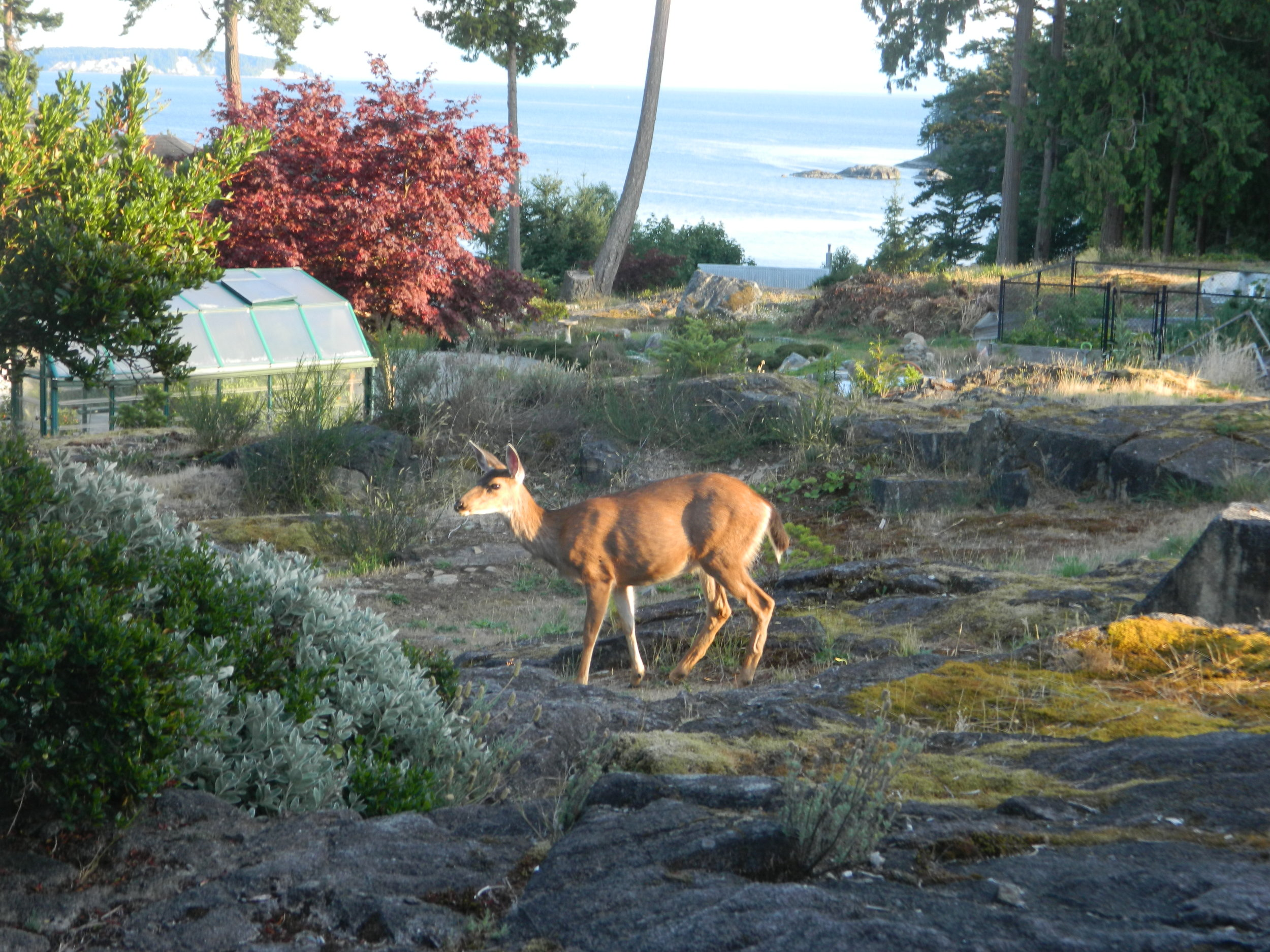 deer in yard.jpg