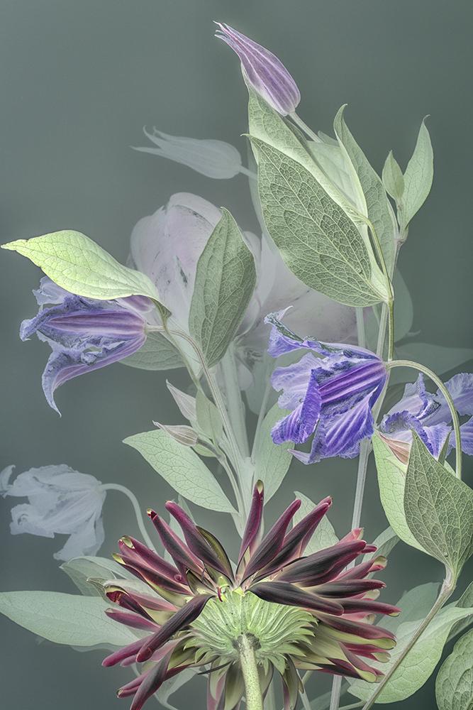 Florilegium Clematis | 45 x 30 cm, oplage 25