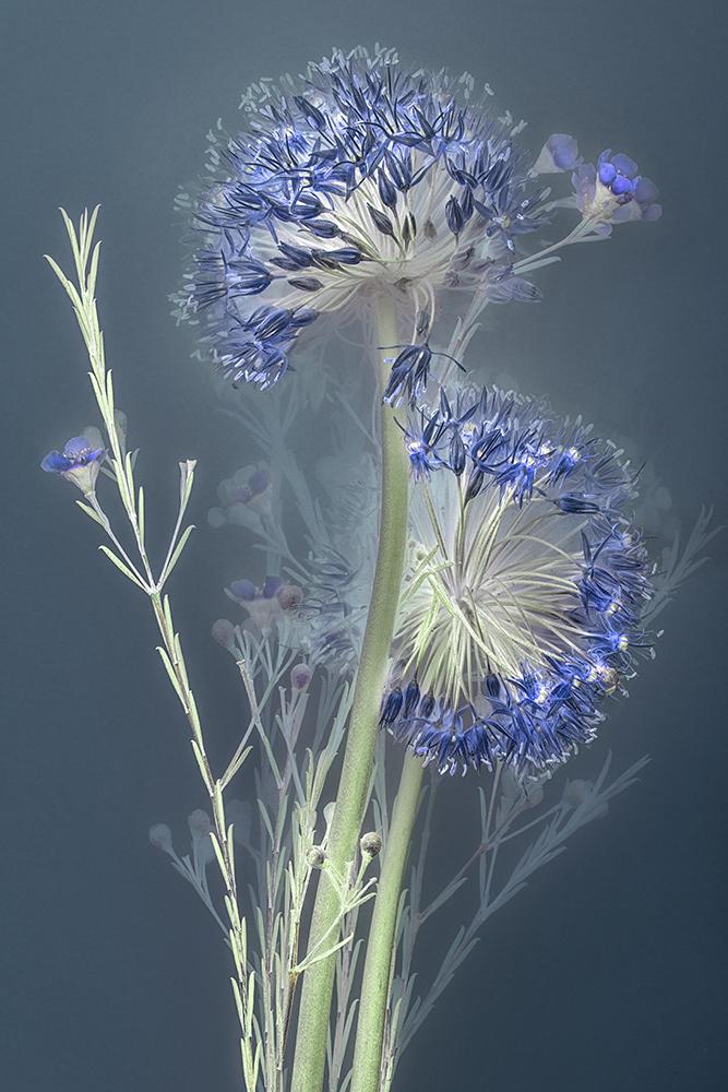 Florilegium Allium | 45 x 30 cm, oplage 25