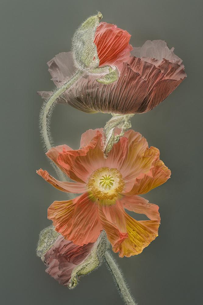 Florilegium POPPY | 45 x 30 cm, oplage 25