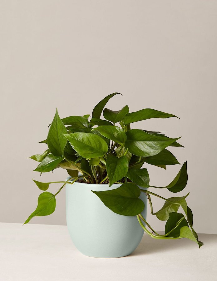 The Sill - Pothos