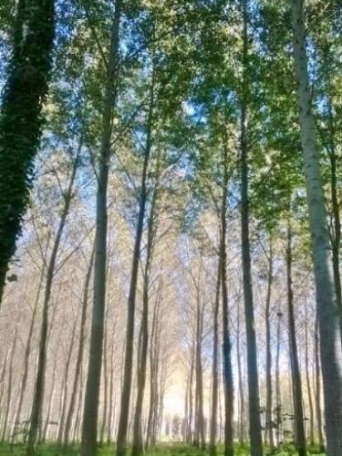 Bois Mort poplars