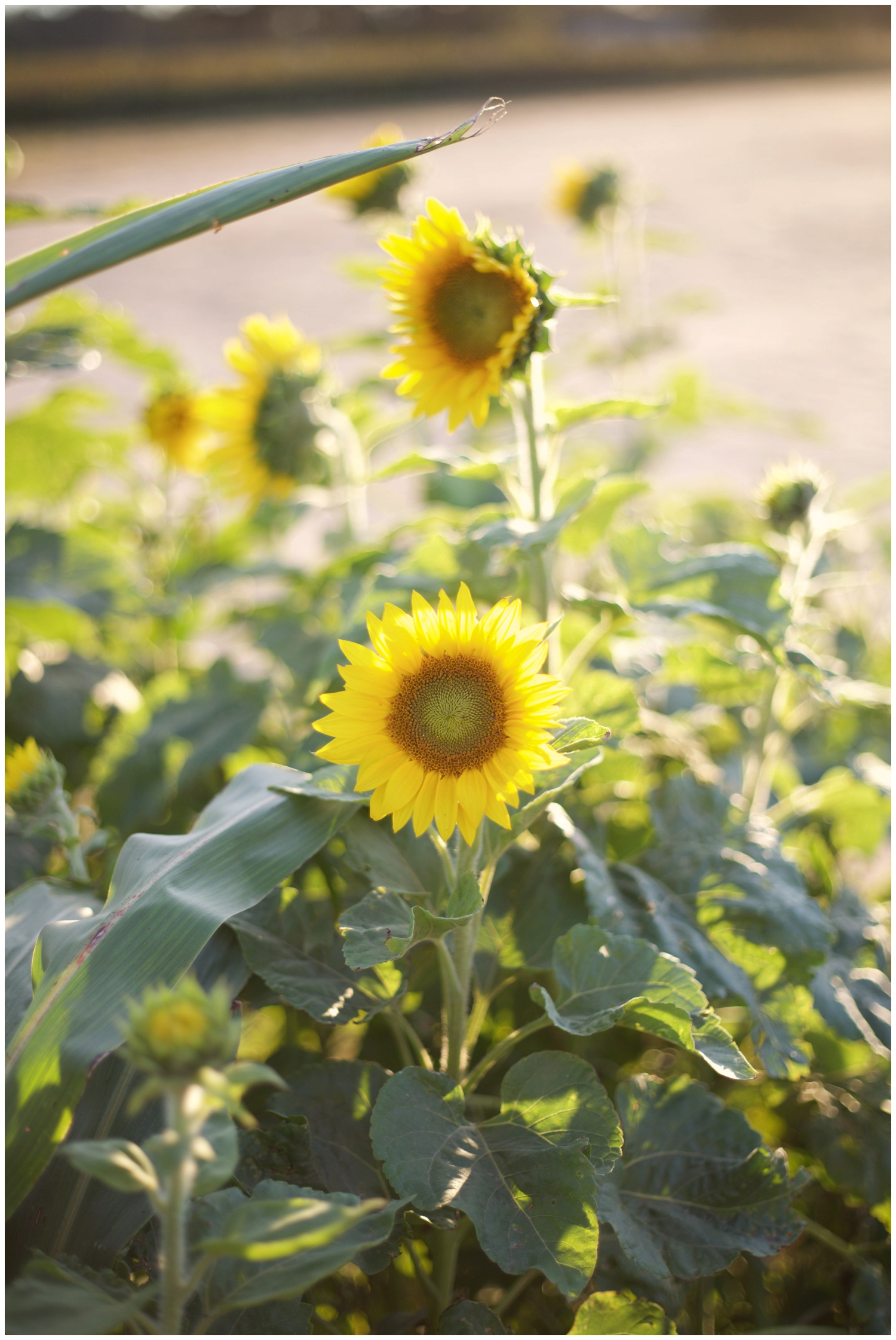 elovephotos_sunflowers_choose_happiness