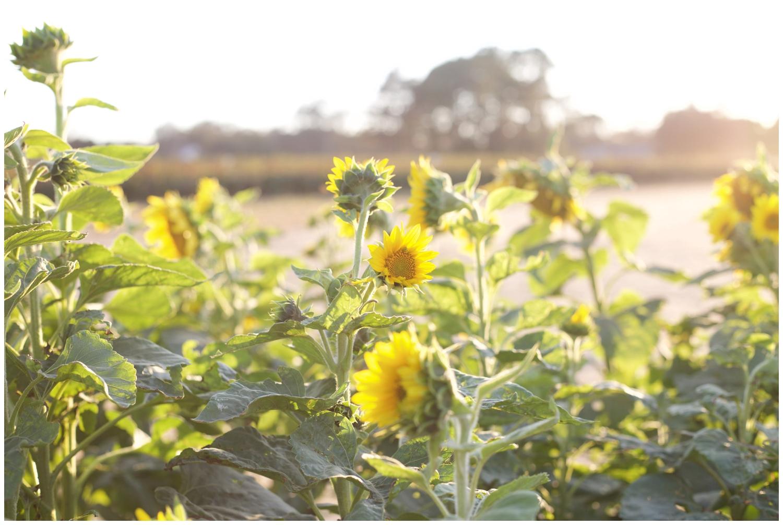 elovephotos_sunflower_choose_happiness