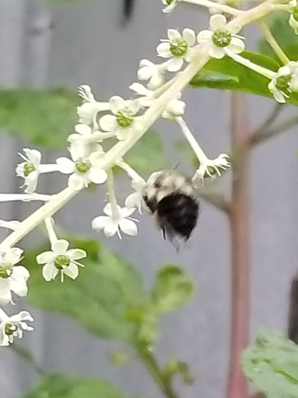 A picture of  Pokeweed  blossoms being pollinated.