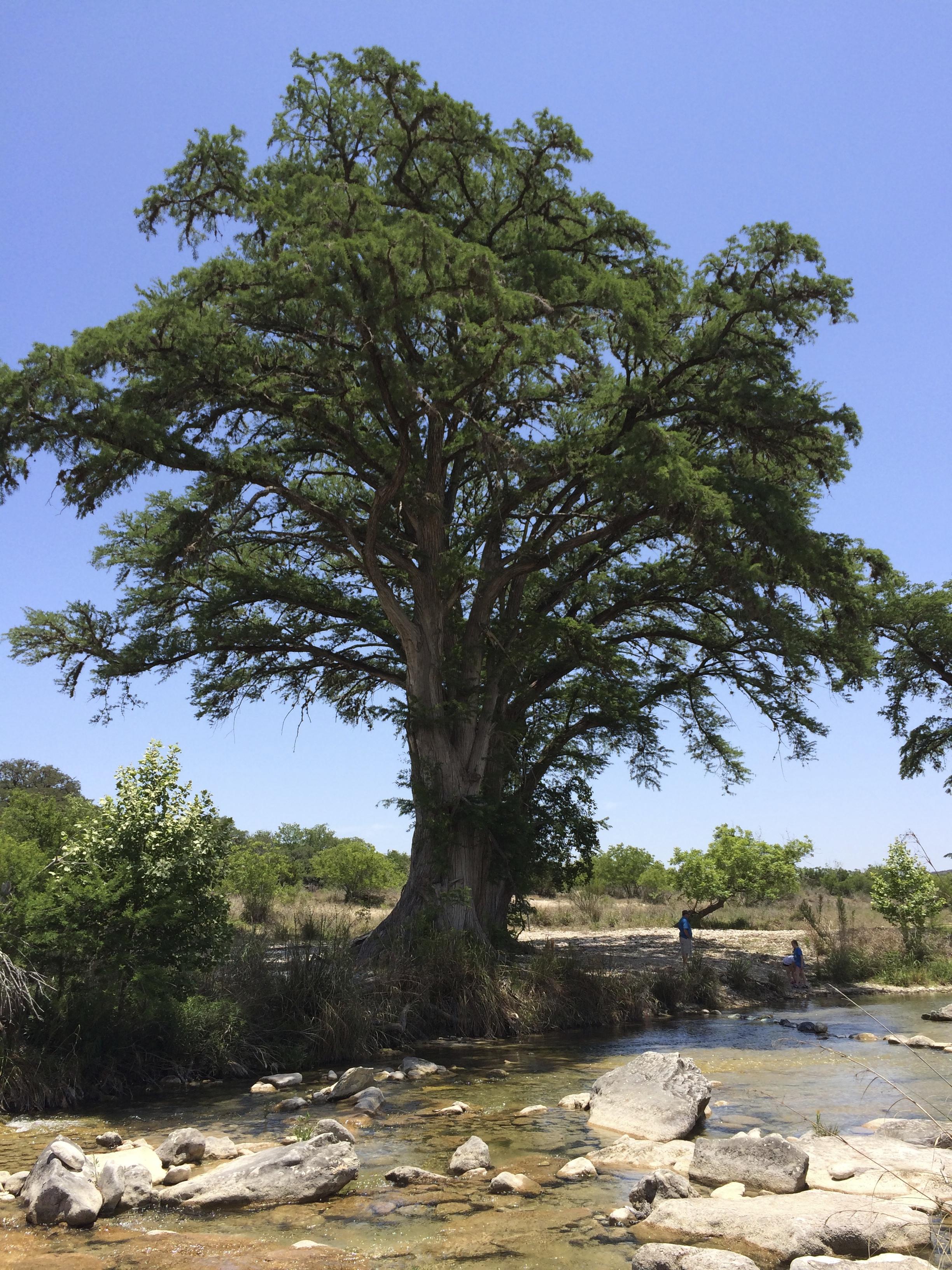 Acacia Tree, Rio Frio River, TX
