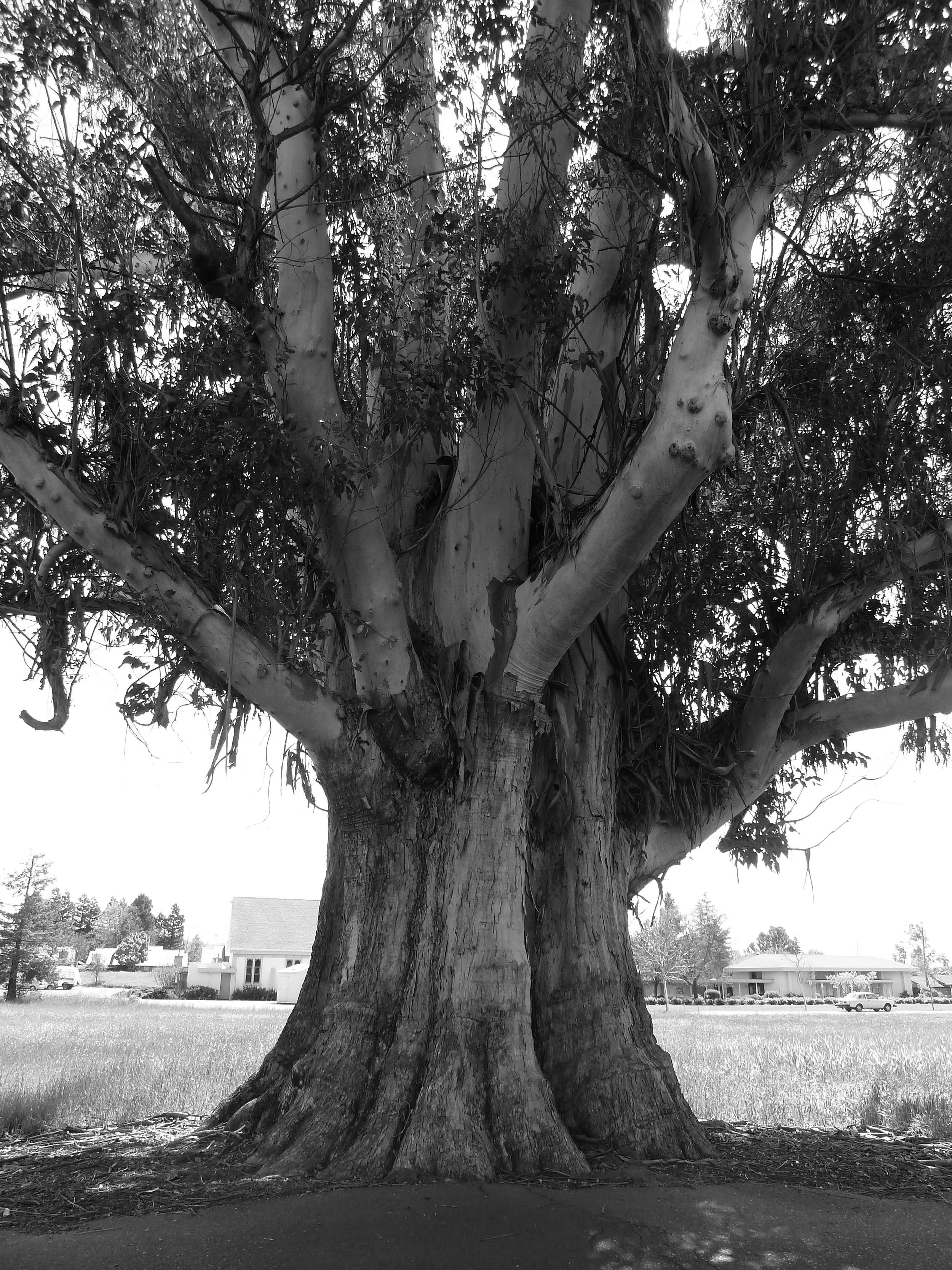 Eucalyptus Tree, Sonoma, CA 2013