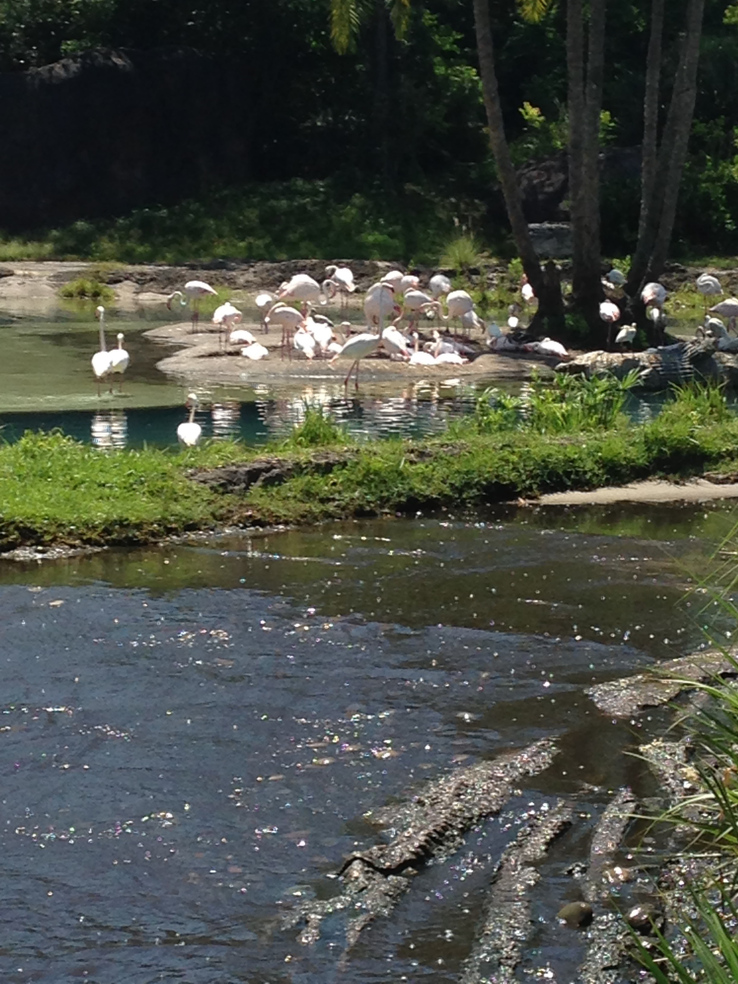 Animal-Kingdom-Flamingos.jpg