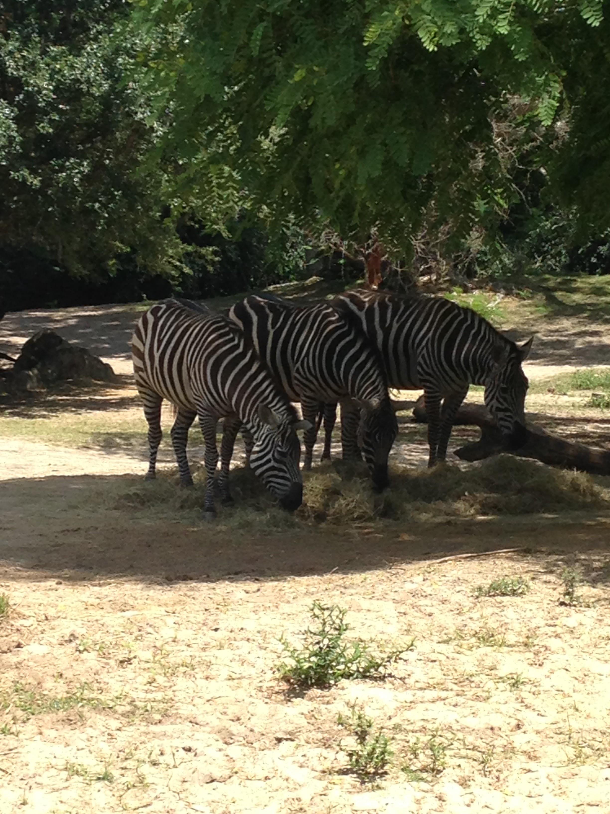Animal-Kingdom-Zebras.jpg