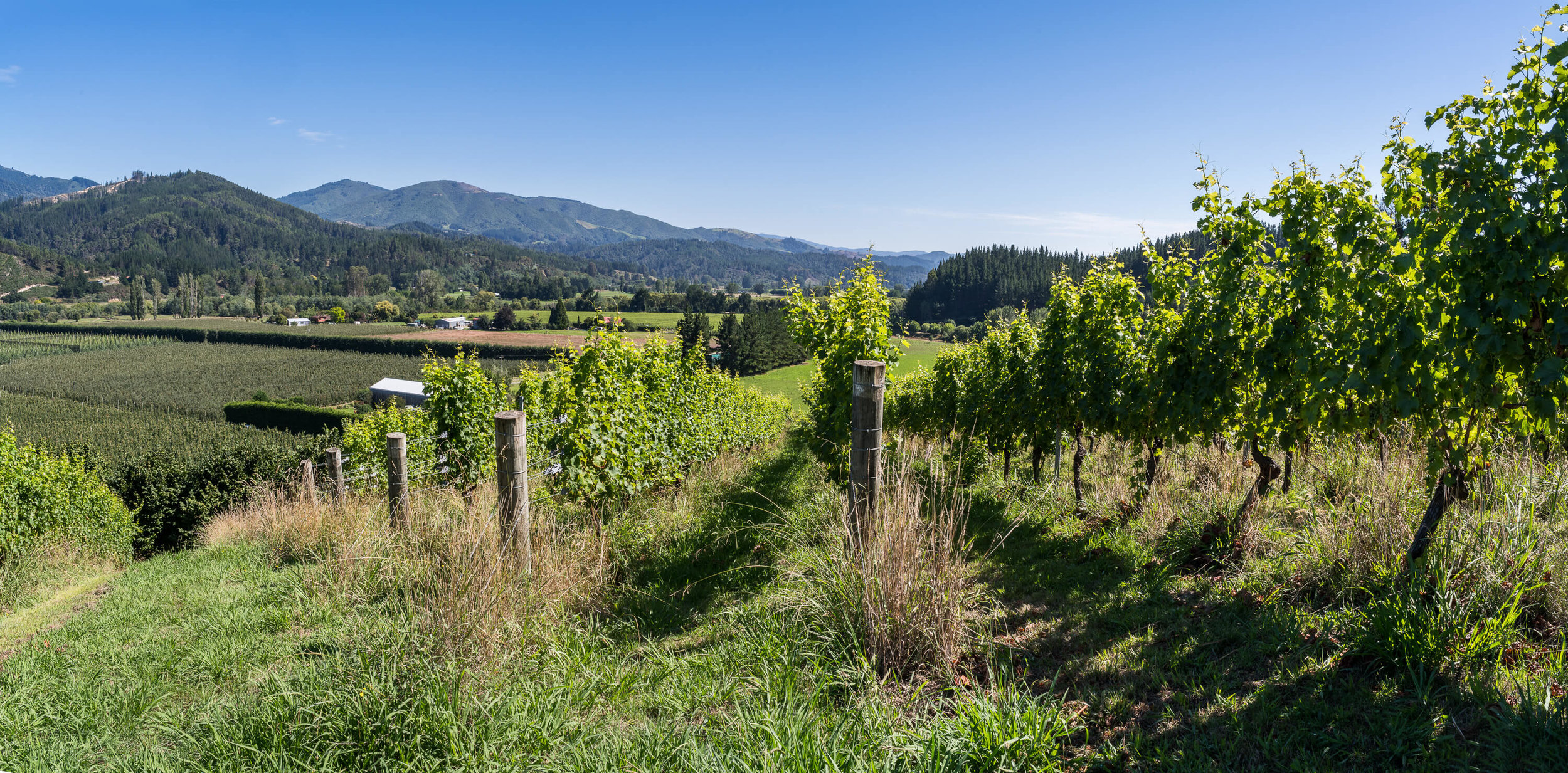 Motueka vineyard