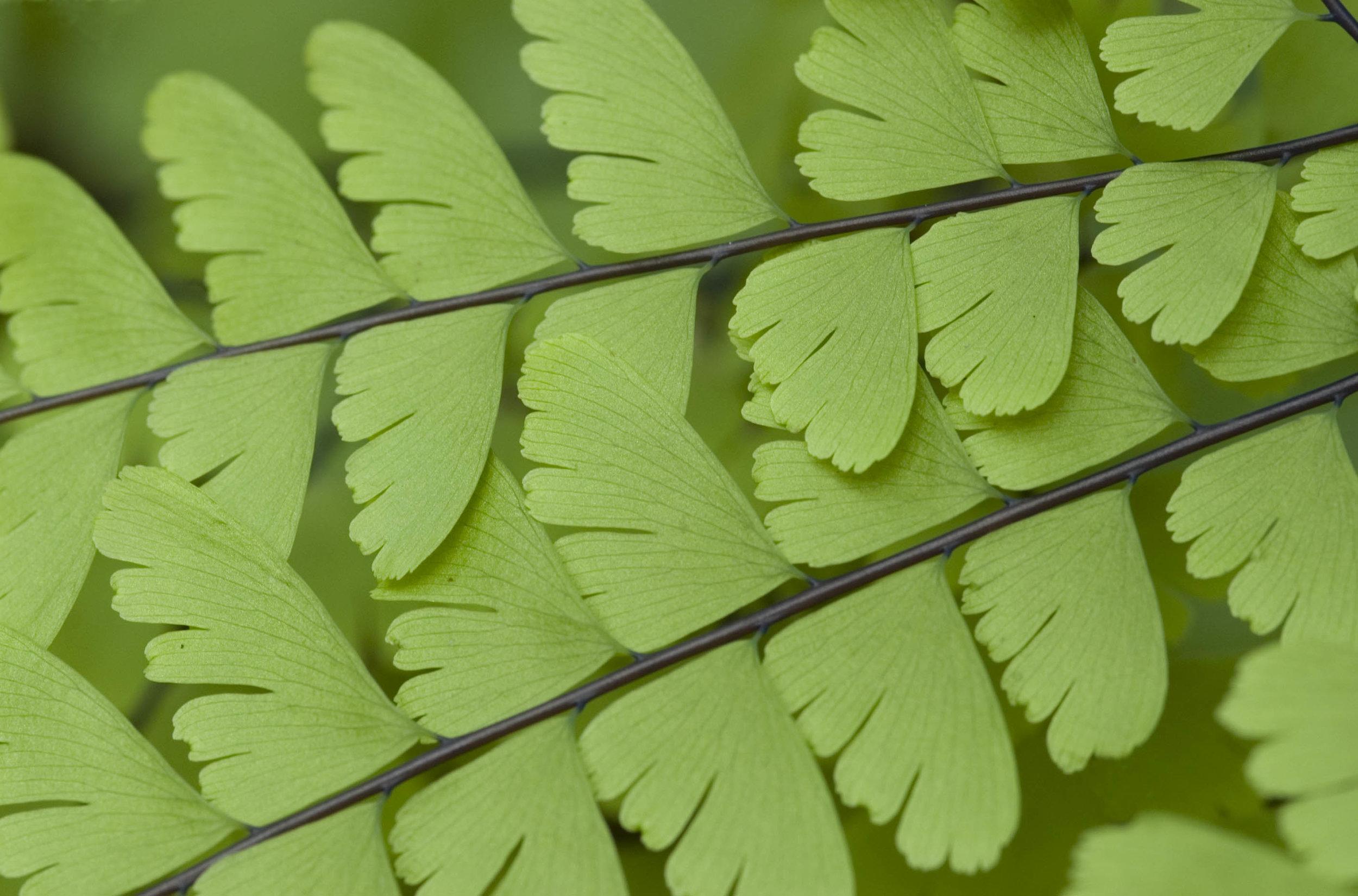 Fern closeup 2.jpg