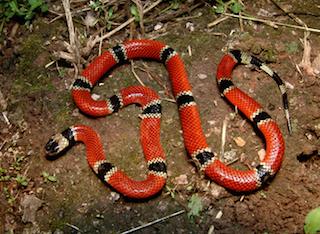 Micrurus distans oliveri  from Minatitlán, Colima, Mexico