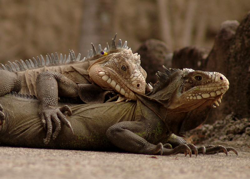 iguanas_sex02.JPG