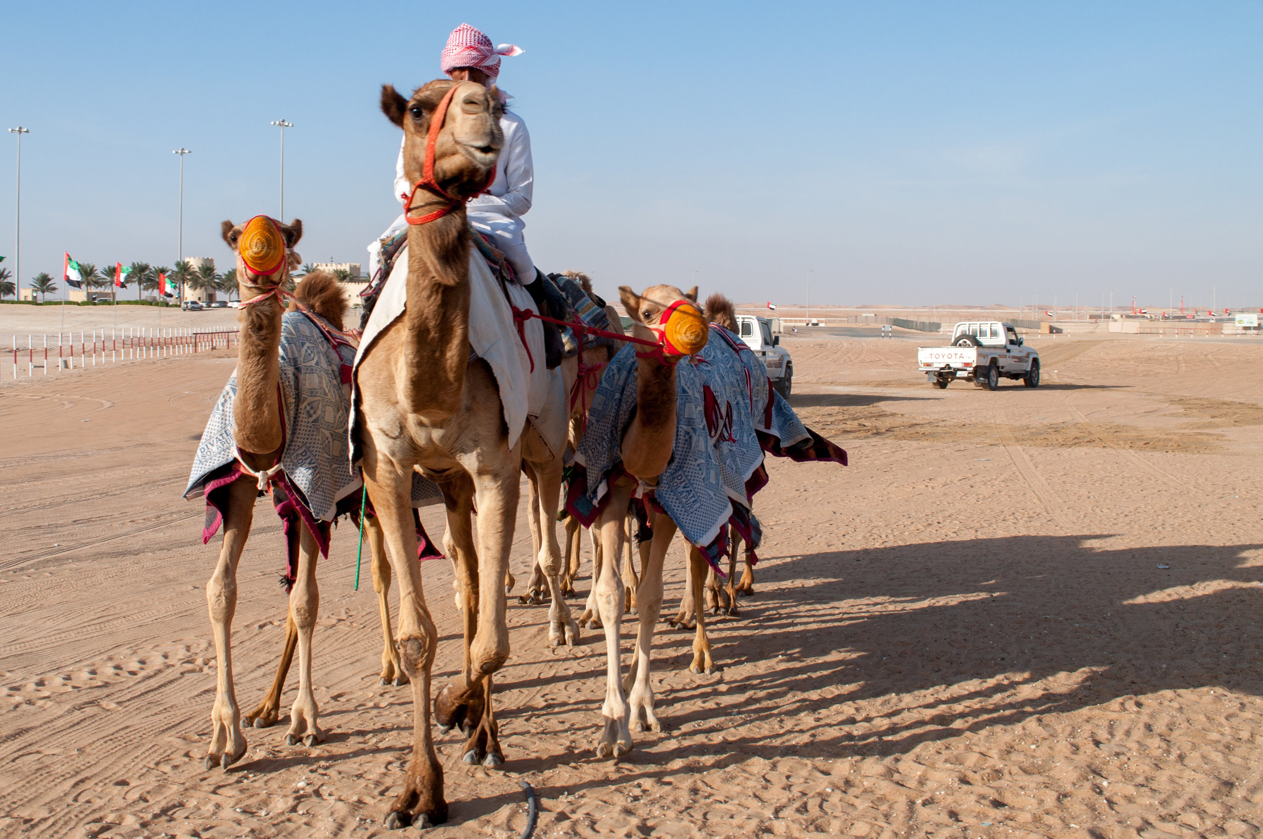 Looking for the most beautiful camels in the region