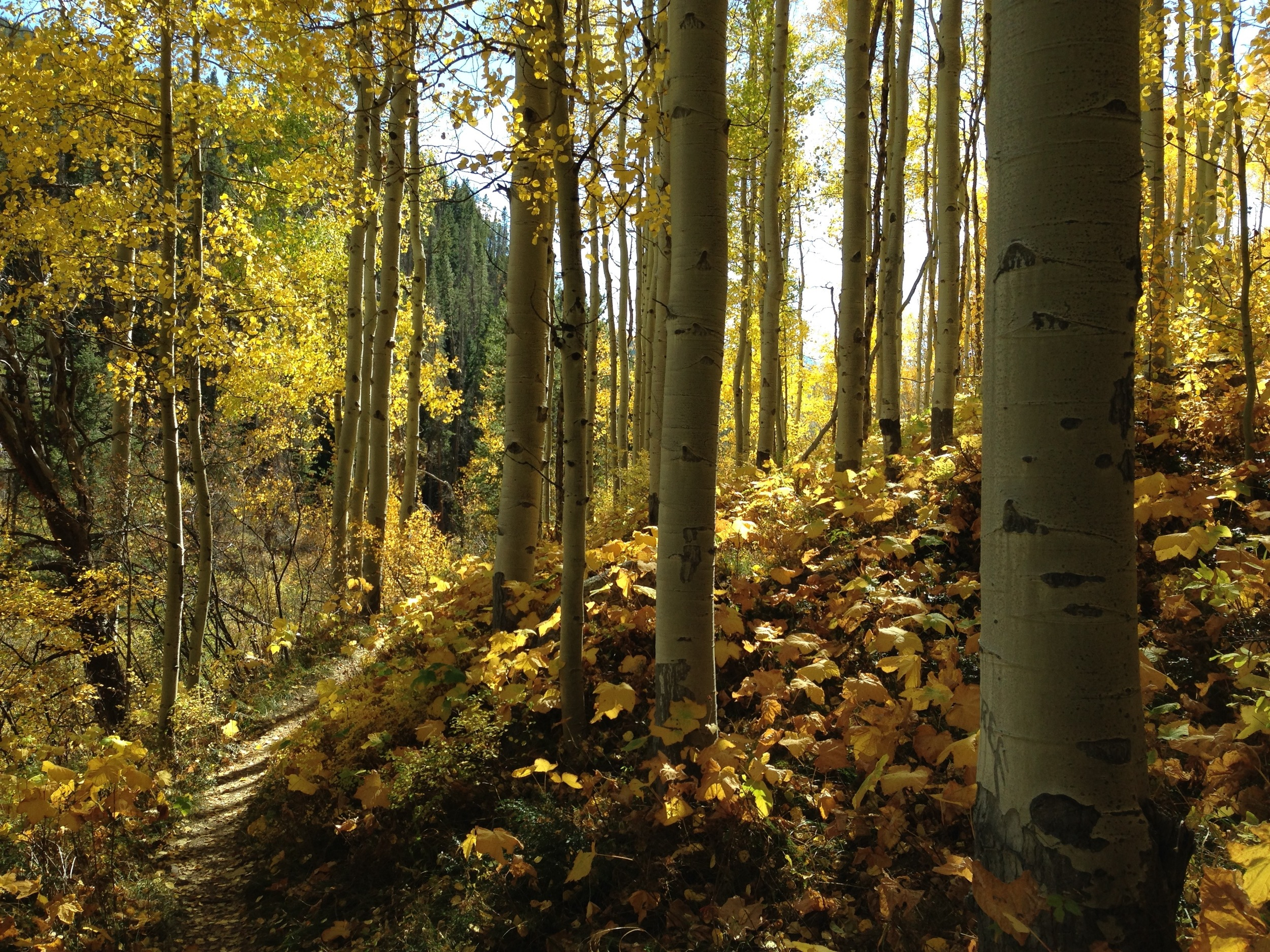 A magical gem of a forest along the Two Elks tail, Vail, CO