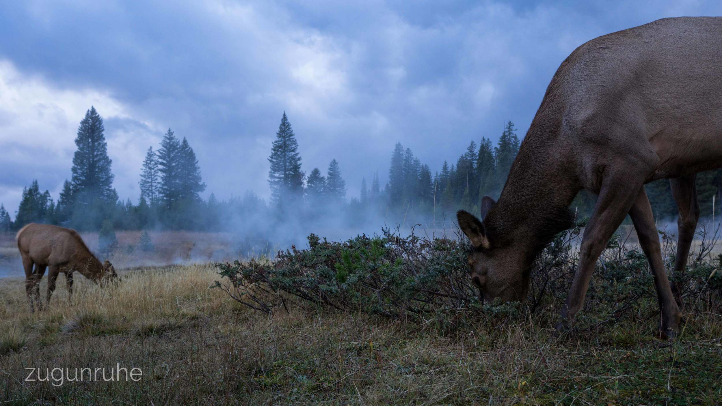 Elk Cows at West Thumb //Yellowstone 9/16