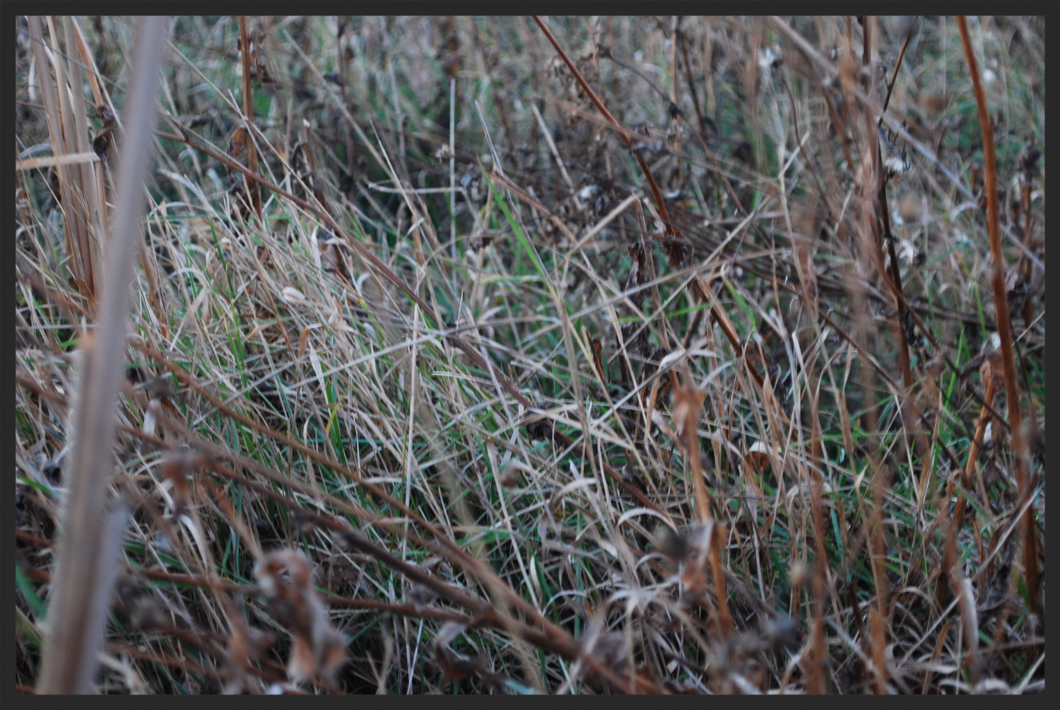 Native grasses are necessary to promote a healthy pheasant population