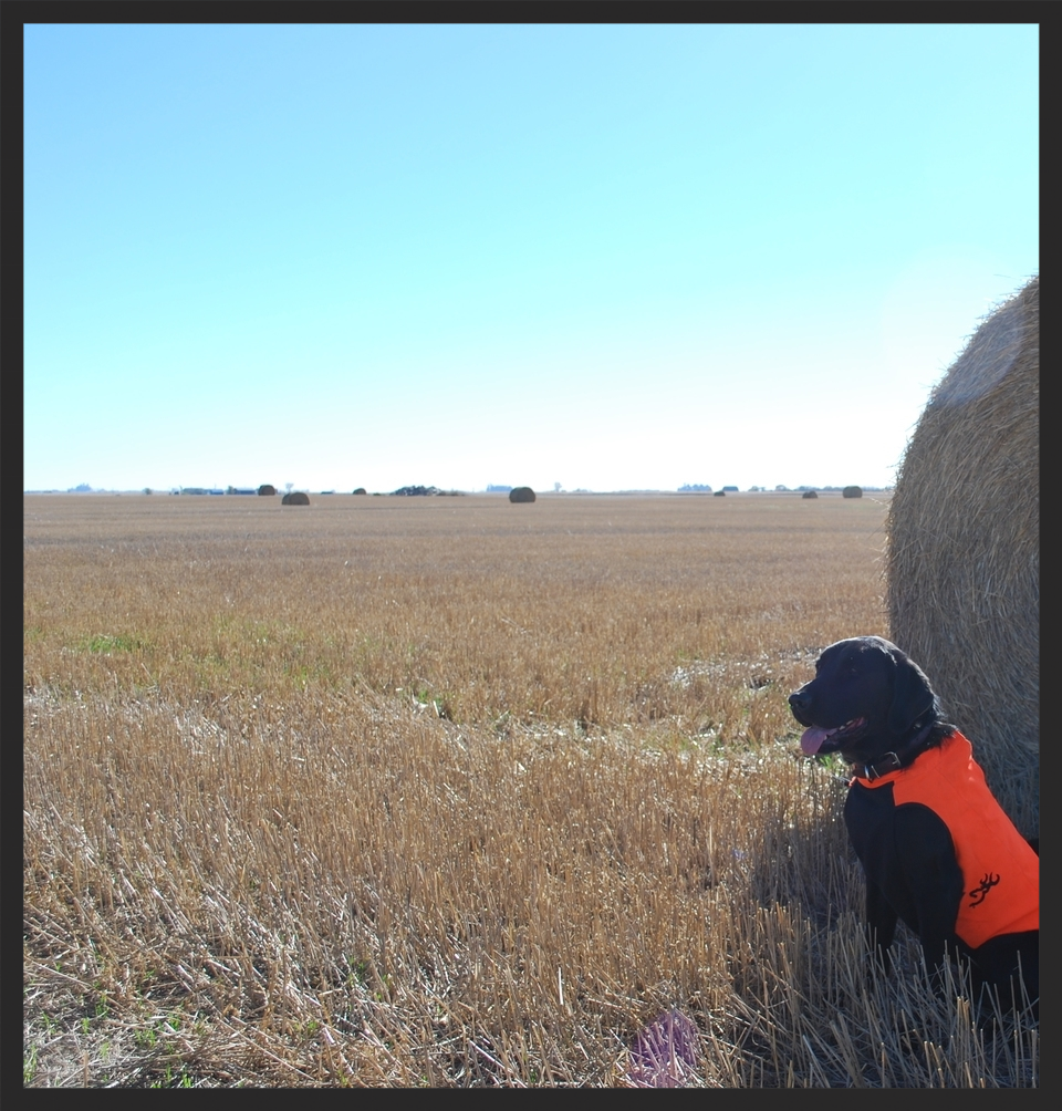 Keo sits next to a hay bail in Ipswich, South Dakota waiting for the pheasant hunt to begin