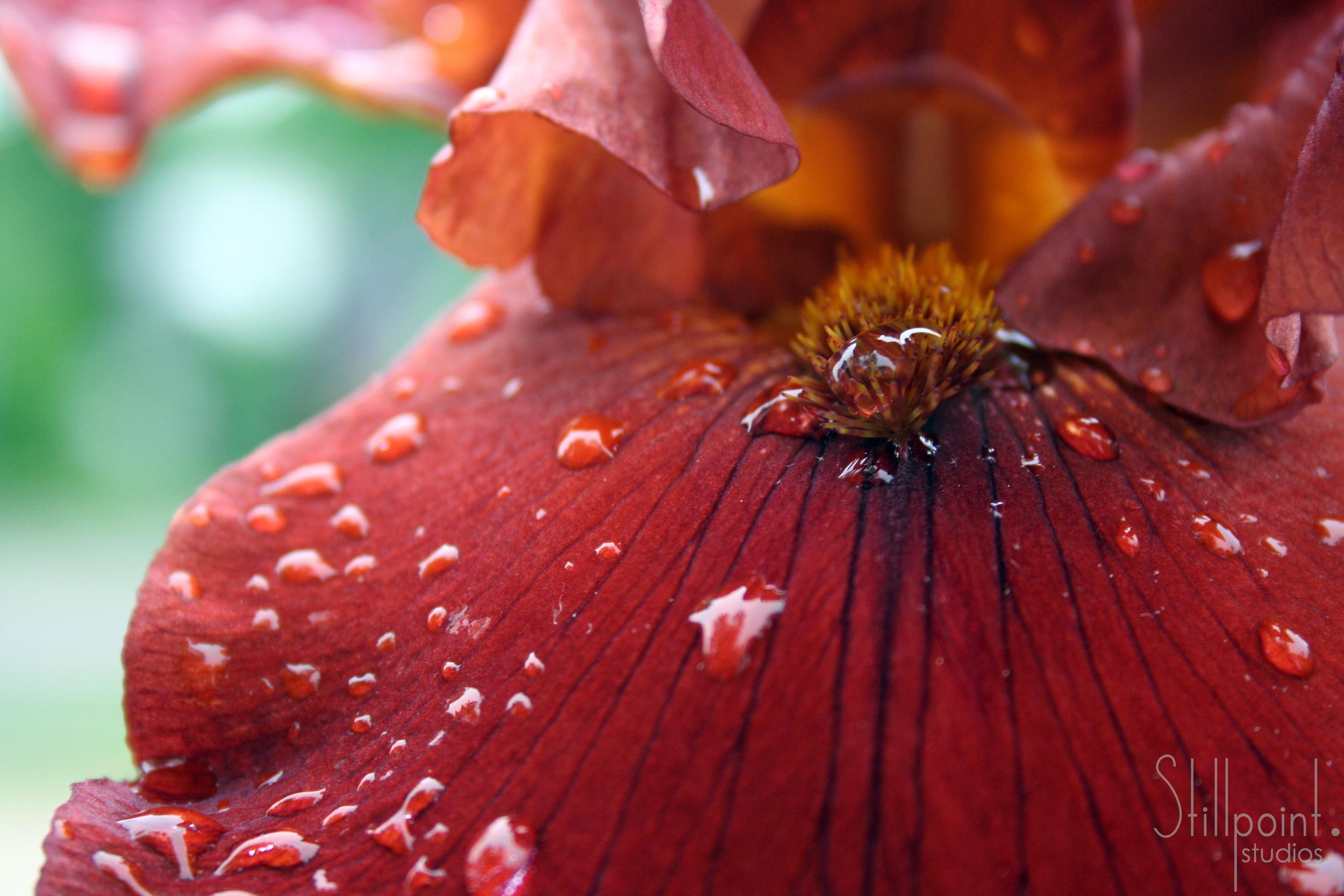 iris macro with water drops