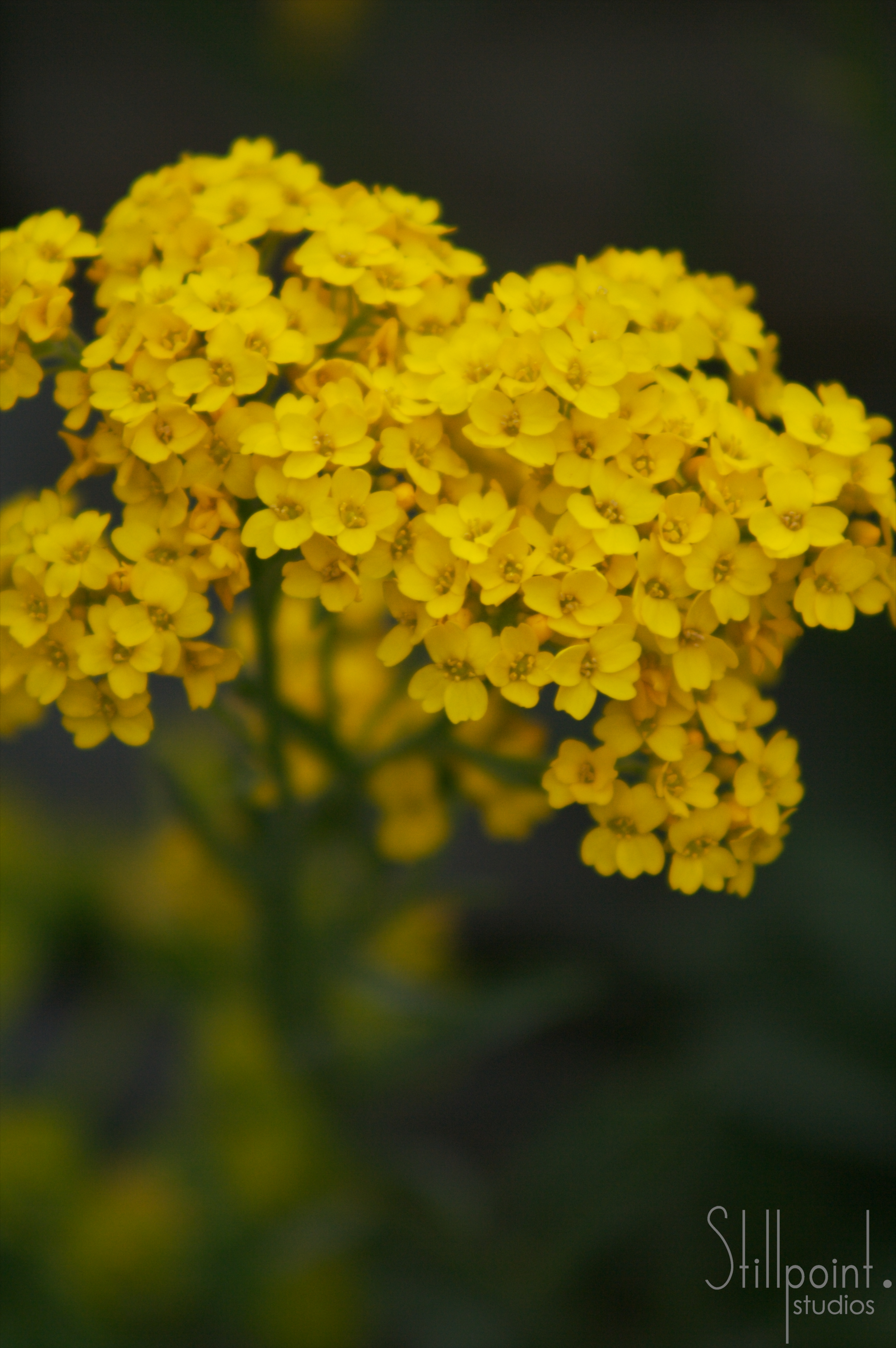 yellow cluster