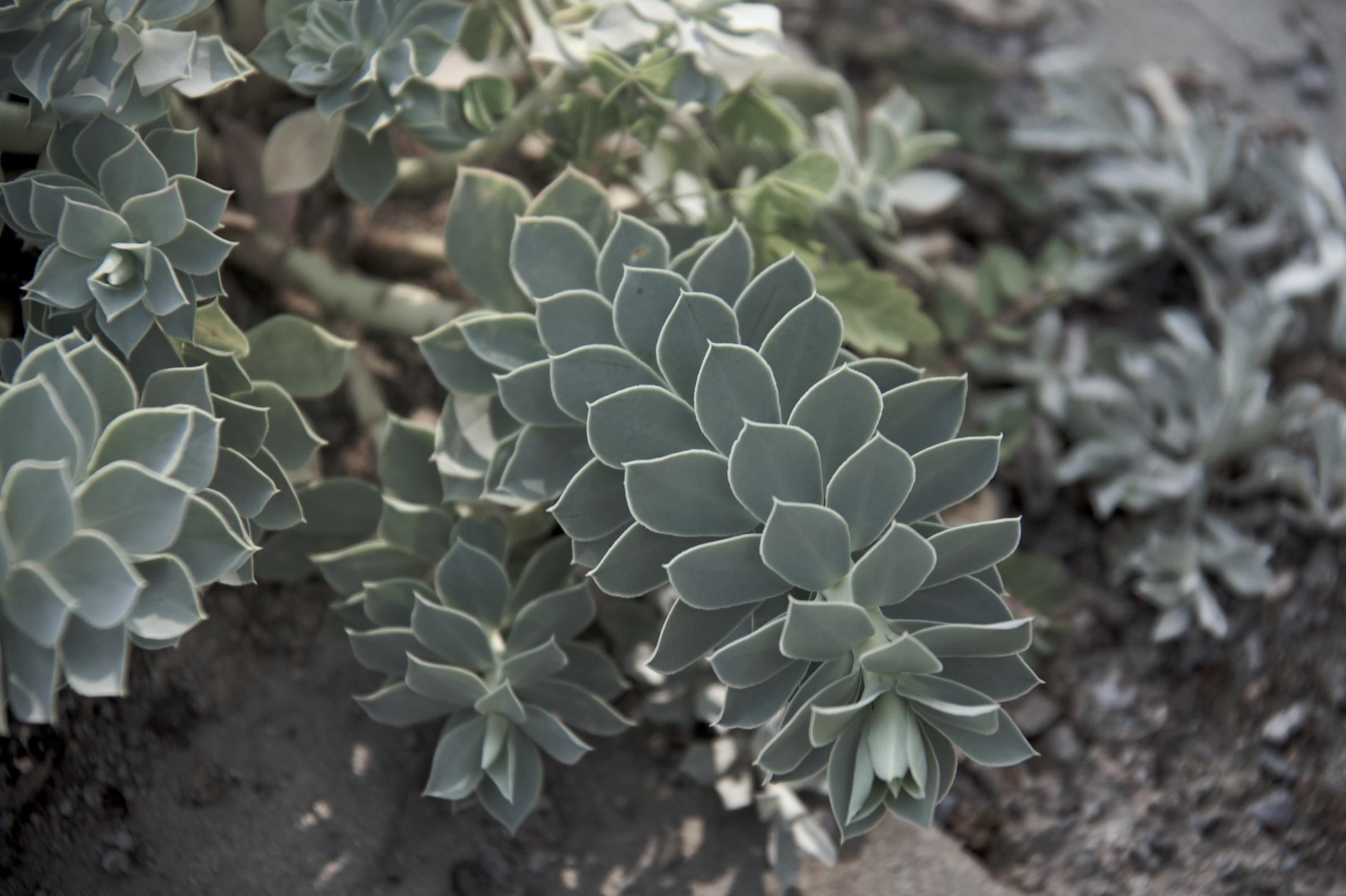 silver succulent