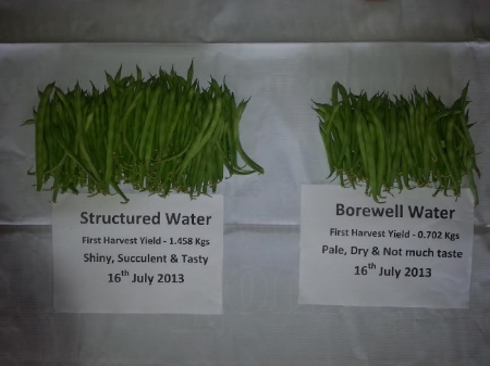 These green beans were part of our structured water trials which took place in Mysore, India. These beans were grown in identical conditions with the only difference being one crop received energised water.
