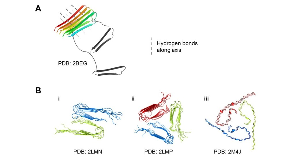 Figure 1. Aβ can aggregate into diverse structural polymorphs.  (A) Microscopically, Aβ peptides arrange into β-structures by hydrogen bonds, and the aggregates form surfaces for more Aβ peptides to attach. (B) Structural polymorphs of Aβ40 solved by solid-state NMR. (i) 2-fold striated-ribbon Aβ9-40 prepared in vitro. (ii) 3-fold twisted Aβ9-40 prepared in vitro. (iii) AD patient-derived Aβ1-40 fibrils taken from brain tissue. We display different possible arrangements of the cross-β structures and flexible tails (i-iii), and the common 2- to 3-fold symmetry (i-ii). The accession codes for the relevant Protein Data Bank (PDB) structures used were noted.