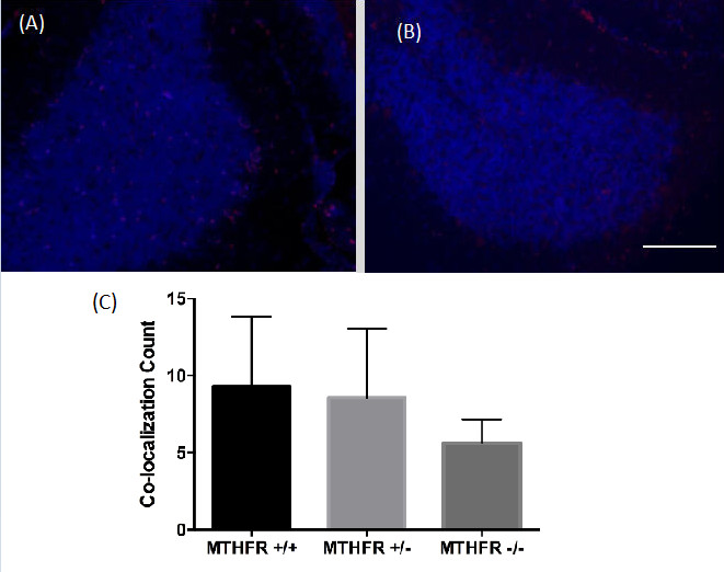 Figure 3. Combined images of the co-localization of PH3 and DAPI immunofluorescence staining in the cerebellum of (A) a wild-type MTHFR mouse (+/+) and (B) a homozygous knockout MTHFR mouse (-/-).  200X magnification. Scale bar 50µm. Mean co-localization count in the cerebellum of MTHFR knockout mice and controls (C). No statistically significant differences were viewed ( F (2,13) = 1.29,  p  = 0.309). Standard deviations are represented in the figure by the standard deviation bars attached to each column.