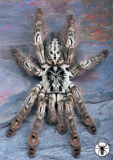 Figure 1:  H. maculata, the toxin-bearing tarantula