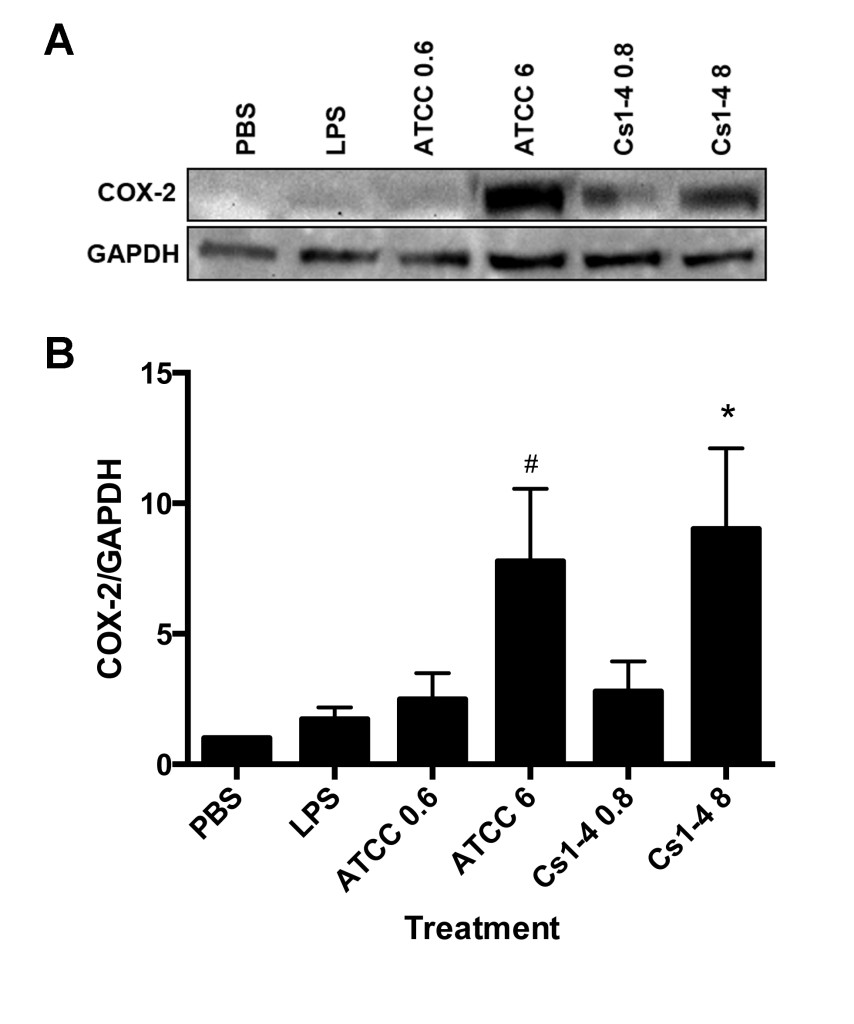 Figure 2. THP-1 monocytes treated with the higher MOI of  D. acidovorans  ATCC 13751 and  Delftia  sp. Cs1-4 resulted in increased COX-2 protein expression.  A: Representative Western blot of COX-2 and GAPDH loading control. B: Protein densitometry of COX-2 normalized to GAPDH with fold-change relative to PBS treatment group. Significance (p < .05) relative to the PBS group is denoted by an asterisk (*). The pound sign (#) indicates a nearly significant value of  p  = .050. Data is representative of four independent experiments.