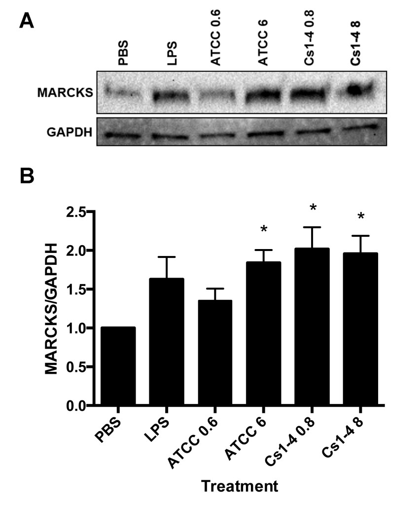 Figure 3. MARCKS protein expression was significantly increased in THP-1 monocytes stimulated with both strains of  Delftia  spp.  A: Representative Western blot of MARCKS and GAPDH loading control. B: Protein densitometry of MARCKS normalized to GAPDH with fold-change relative to PBS treatment group. Significance ( p  < .05) relative to the PBS group is denoted by an asterisk (*). Data is representative of four independent experiments.