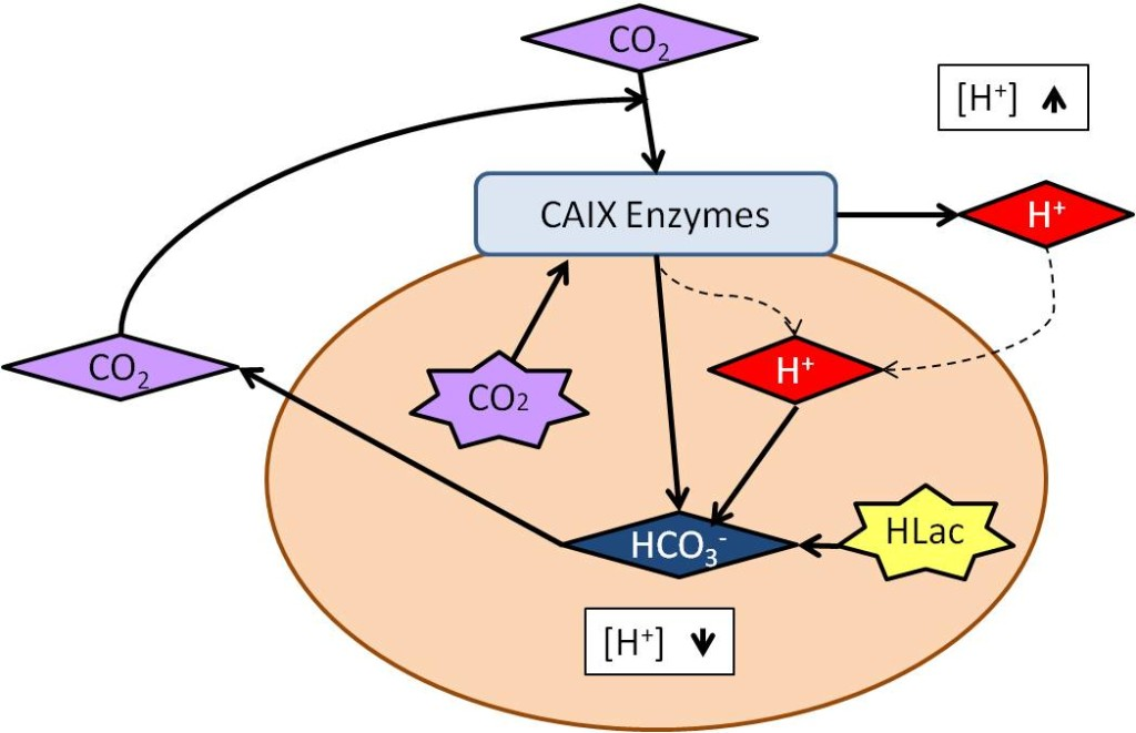 Figure 1. Reaction catalyzed by CAIX.  In a tumor cell, CO is generated from aerobic respiration or is present from the general environment. CAIX can turn CO2 and water into HCO3- and H+. When the extracellular pH becomes extremely acidic from the H+, the HCO3- produced by CAIX regulates interior pH. Another source of acidic intracellular pH is Lactic Acid (HLac), which is produced from anaerobic respiration and/ or aerobic glycolysis. It can be removed by intracellular titration with HCO3-, further balancing the pH (Švastová, 2004).