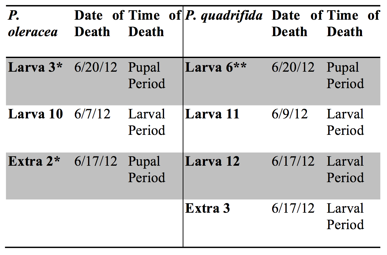 Table 3. Survivorship of individuals reared on Portulaca oleracea versus Portulaca quadrifida.  For the P. oleracea population three individuals died (3 and 10 from the experimental group and extra 2 from the non-experimental or back-up group). For the P. quadrifida population four individuals died (6, 11, and 12 from the experimental group and extra 3 from the non-experimental group). Those that died during the pupal period was due to the disturbance with the mouse* or due to human error** as described in the text. Individuals that died during the larval period were considered to determine the survivorship (regarding food type) between the two populations. It was determined that one specimen out of 25 (0.04%) larvae from the P. oleracea population (both experimental and non-experimental) died, while 12% of the specimens from the P. quadrifida group died. There may be a correlation between food type and survivorship; this should be analyzed in future studies.