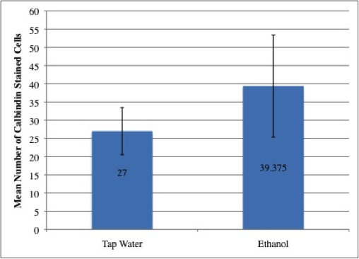 Figure 3: No difference in cell count in calbindin stained cerebella of P0 mice exposed to ethanol.  Graph of mean cell count of calbindin immunostained sections of P0 mouse cerebella prenatally administered tap water and ethanol. Values were determined using automated cell counting in ImageJ. A non-directional Mann-Whitney U tests indicated that ethanol exposed mice did not have significantly different numbers of calbindin stained cells (mean=39.375, sample size (n)=8 images containing calbindin stained cells) than controls (mean=27.00, (n)=6 images containing calbindin stained cells; p=0.0819). Error bars indicate standard deviation.