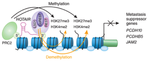 Figure 2:  HOTAIR forms a bridge between polycomb repressive complex (PRC2) and histone lysine demethylase (LSD1), creating a molecular scaffold for the protein complexes to induce post-translational modifications (PTMS). PRC2 mediates PTMs while LSD1 inhibits them. (De Lucia & Dean, 2011)