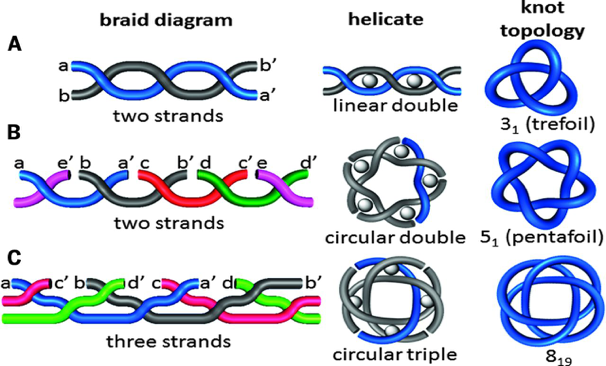 Figure 1. The simpler knot types, such as the trefoil and pentafoil, require only two chemical strands to synthesize. Constructing a 819 knot required three distinct strands and a unique braiding pattern.