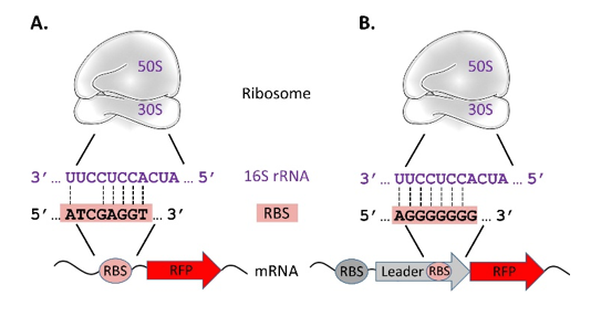 Figure 1. The RBS of a mRNA base pairs with the 16S rRNA of the 30S ribosomal subunit.  A. Simple RBS (B24 from this study). B. Bicistronic C dog RBS (C10 from this study). Dashed lines indicate hydrogen bonds from paired RNA bases. mRNA = messenger RNA; rRNA = ribosomal RNA; RBS = ribosome binding site; C dog = bicistronic RBS.
