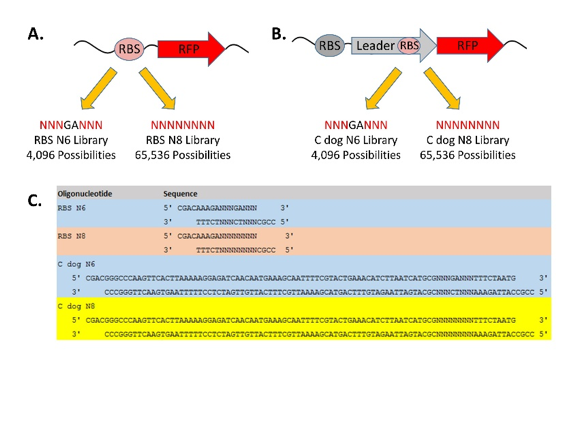 Figure 3. Strategies for mutant RBS library construction.  A. Plan for simple RBS libraries. Bottom. B. Plan for C dog libraries. C. List of oligonucleotides ordered for library construction. RBS = ribosome binding site; C dog = bicistronic RBS.