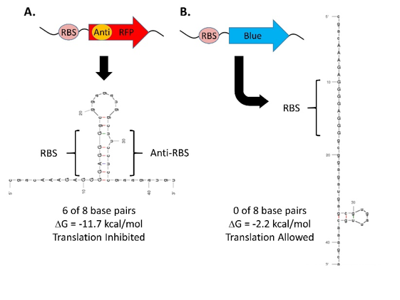 Figure 10. mFold RNA folding analysis of rClone Red and rClone Blue mRNAs.  The RC1 RBS forms a stable anti-RBS hairpin in rClone Red but not in rClone blue. mRNA = messenger RNA; RBS = ribosome binding site.
