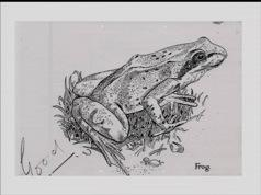 A sketch of a frog, by Sir Harry Kroto. Image courtesy of Sir Harry Kroto.