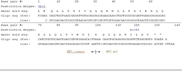 Figure 1: The oligo sequence of the combination of epitope HIV_common and HIV-ep2, along with the corresponding restriction enzymes and amino acid information. The length of the combined epitope is 134 base pairs.