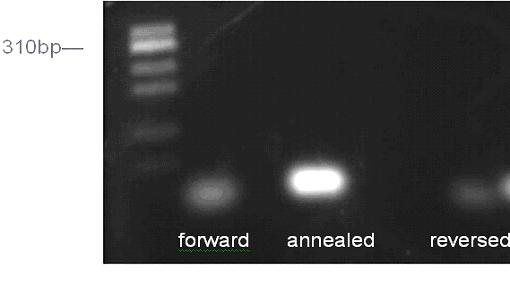 Figure 2: Agarose gel of the annealing of HIV DNA oligomers. The gel shows that the annealed oligomers traveled slower than the single forward or reversed oligomers, which was expected. The molecular weight marker on the first lane did not fully reveal the actual sizes of the oligomers due to the short run time of this particular gel.