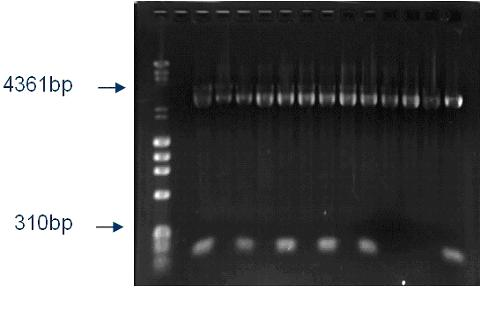 Figure 3: Agarose gel of the extracted pH2_3b plasmids. The 3000 bp fragments represent the vector. The 134 bp fragments correspond to the HIV inserts.