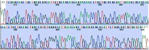 Figure 4: Result of DNA sequencing in forward (5' to 3') direction. The shaded region corresponds to the DNA sequence on the HIV oligomers, which matched the original viral DNA perfectly.