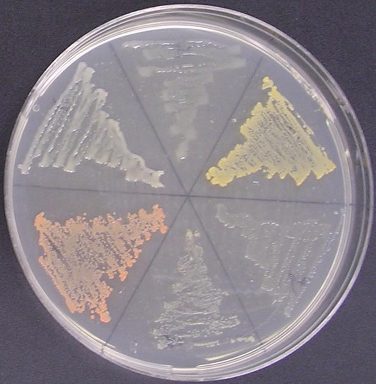 Figure 1. Media plate inoculated with six isolates displaying varying coloration, including opaque white to grey, orange-yellow and pink.