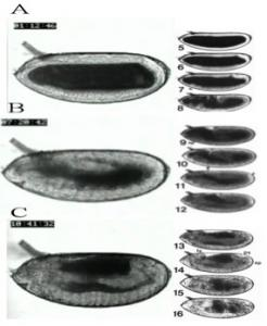 Figure 2. Alignment of embryo morphology to stage A. Stage 6 B. Stage 12e C. Stage 13l.