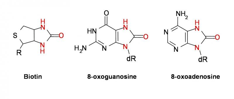 Figure 1. Structures of biotin, and oxidation products formed upon reaction of 1O2 with guanosine and adenosine. Highlighted atoms define the common ureido functionality required for avidin binding.